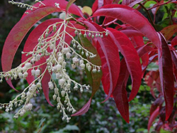 Oxydendrum arboreum in the Ardtornish garden
